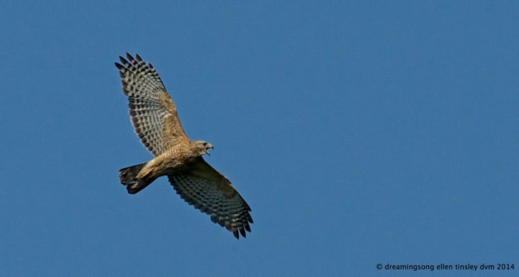 _RK_3205 red-shoulder hawk 2014