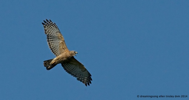 _RK_3205 red-shoulder hawk 2014