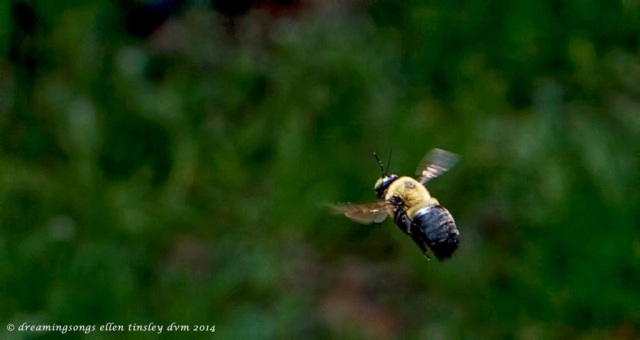 IMG_8414 bumblebee in flight 2014 (1)