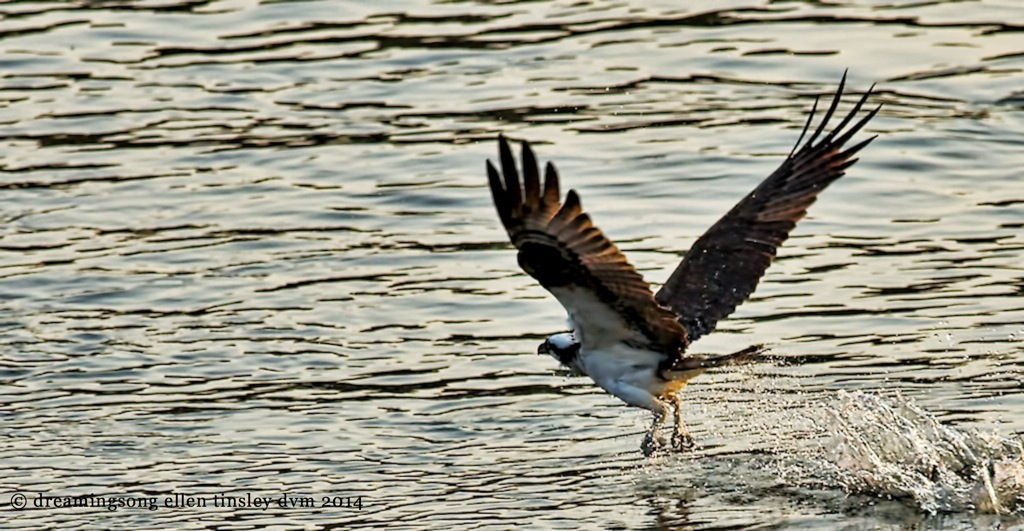 _RK_0014 osprey morning catch 2014