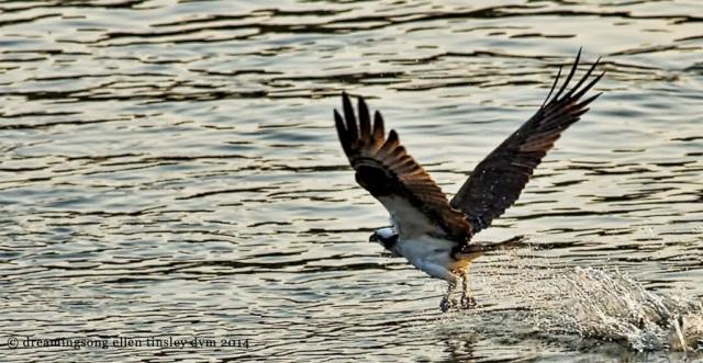 _RK_0014 osprey morning catch 2014