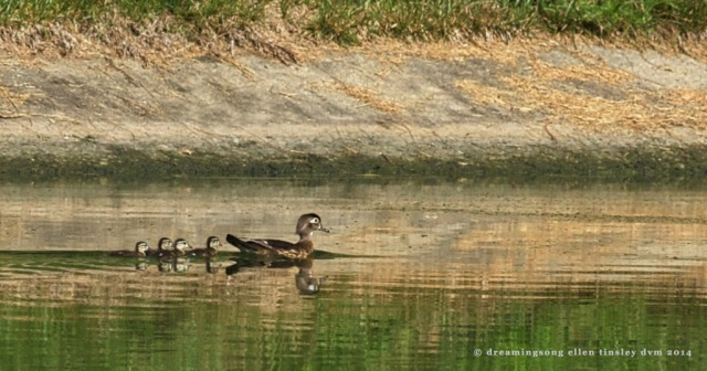 _RK_0355 wood duck hen and ducklings 2014