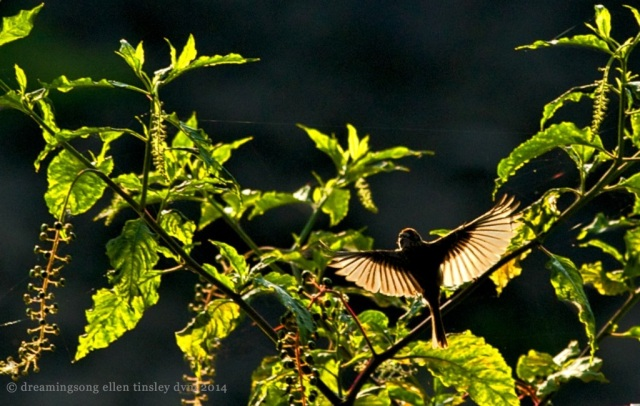 _RK_0410 chipping sparrow shadow light 2014