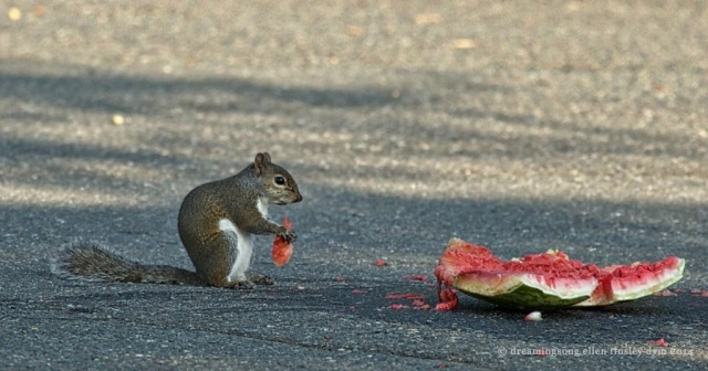 _RK_0595 squirrel watermelon2014