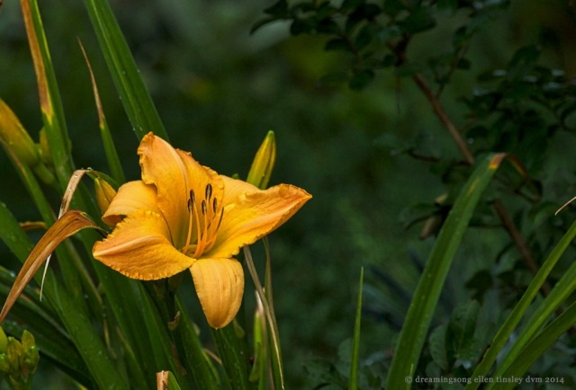 _RK_1498 day lily in summer rain2014