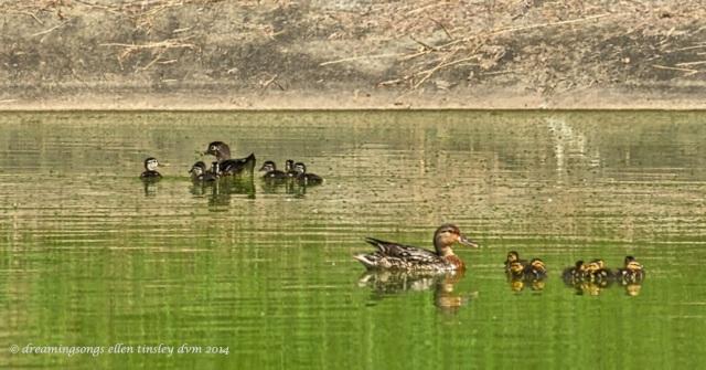 _RK_2104 2 duck families 2014_1