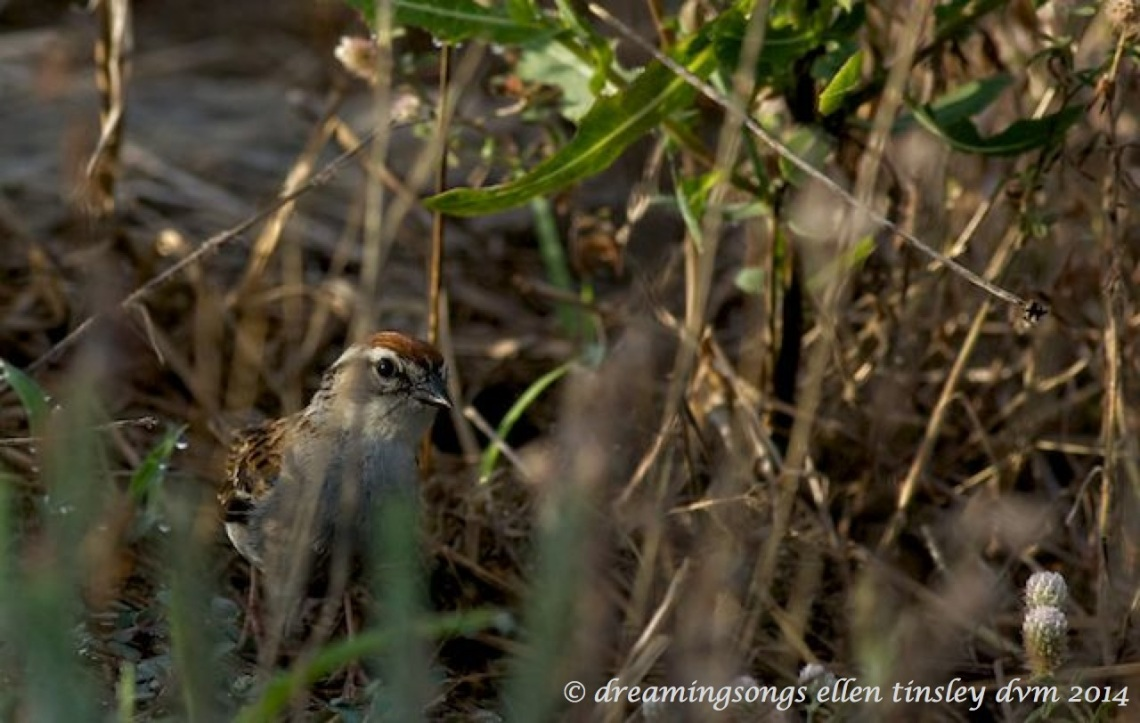 _RK_2192 chipping sparrow hiding 2014 (1)_1