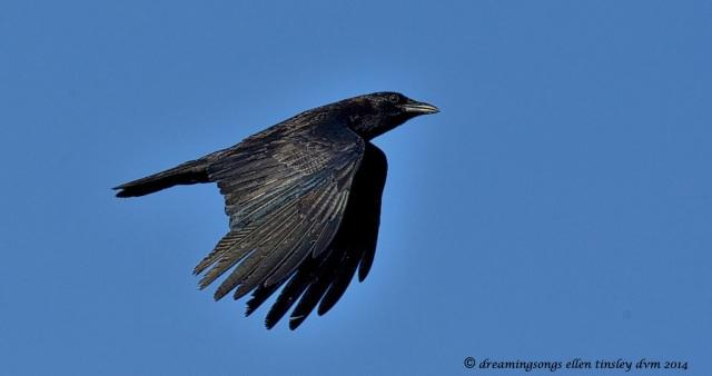 _RK_2245 iridescent crow2014_1