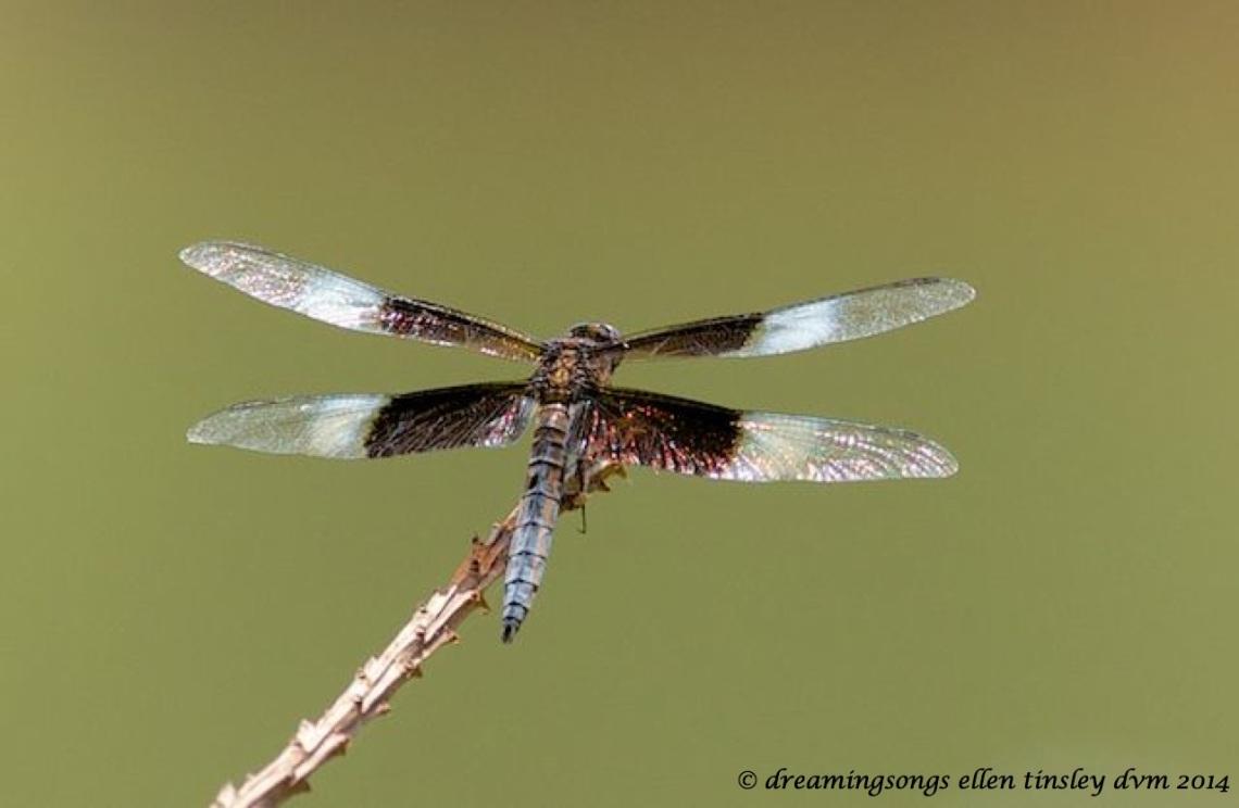 _RK_2596 - Version 3 Alison dragonfly 2014_1