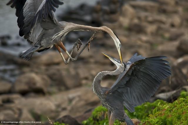 _RK_2899 heron dispute 50 jpg 2014 (1)