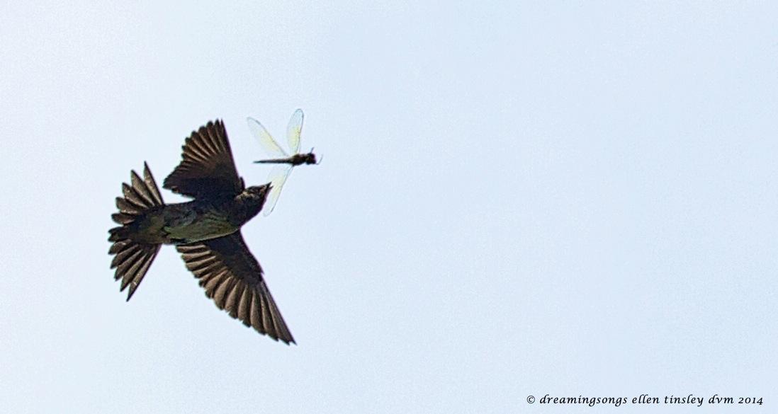 _RK_2984 b&w martin and dragon fly 2014 (1)