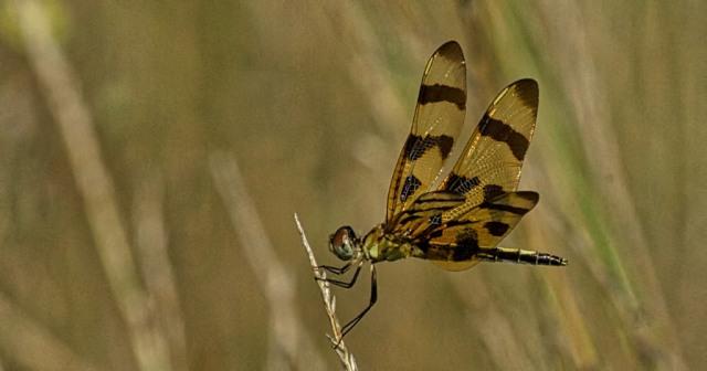 _RK_3736 Halloween pennant dragonfly 2014