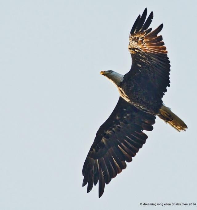 _RK_7058 eagle 2014