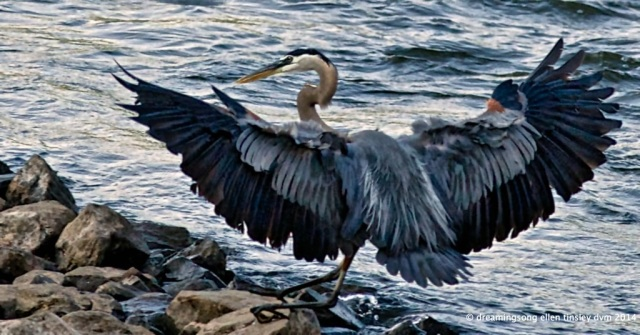 _RK_7061 blue river blue heron2014