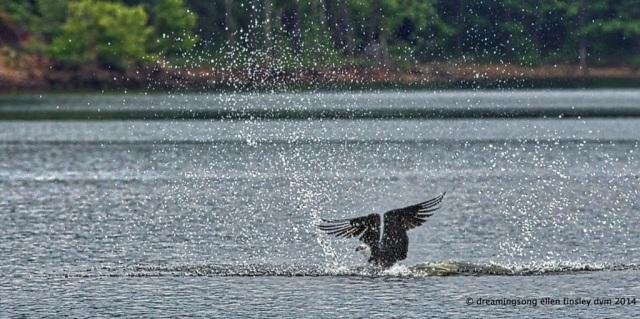 _RK_7323 osprey splash 2014