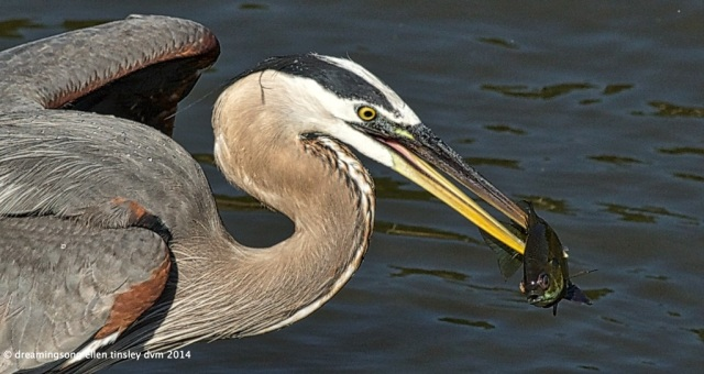 the great blue heron's catch, caught in a moment of light this morning