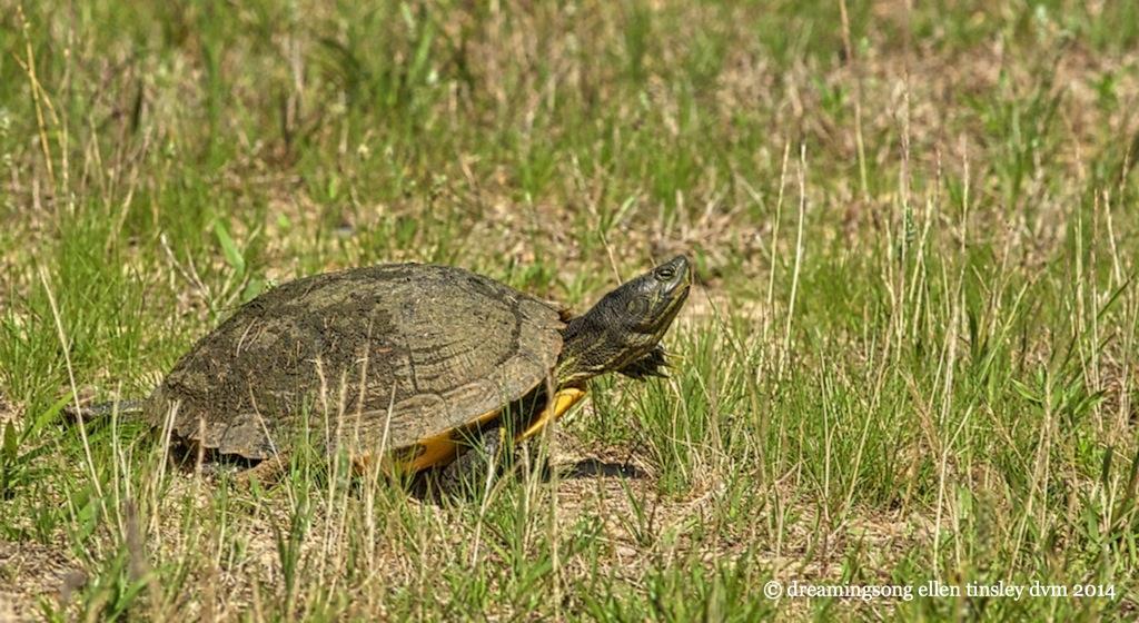 _RK_8205 pond turtle 2014