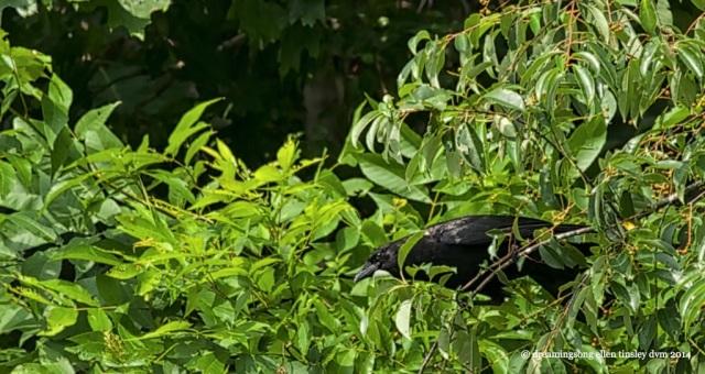 _RK_8451 crow thief2014