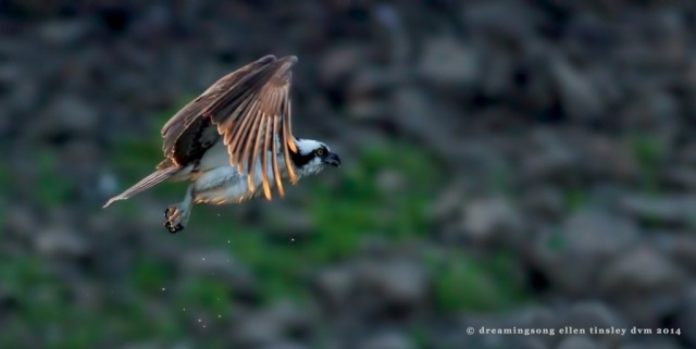 _RK_9029 gilded osprey 2014