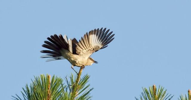 _RK_9086 landing mockingbird 2014