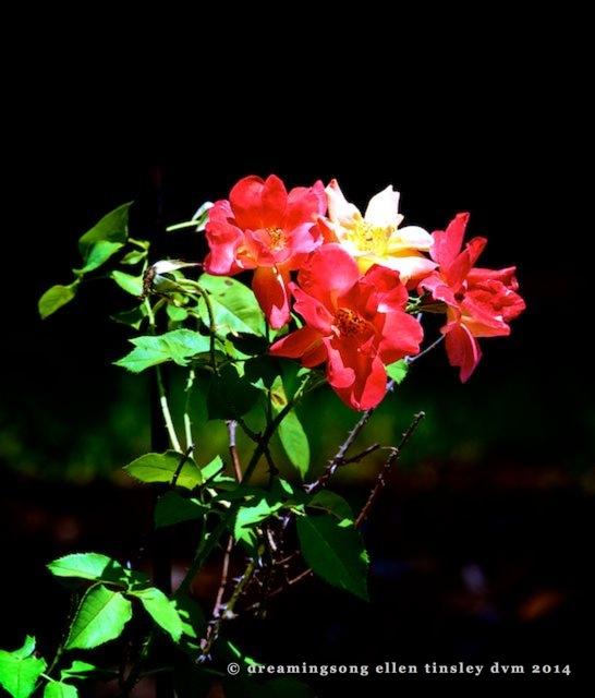 _RK_9549 - Version 2 roses2014 (1)