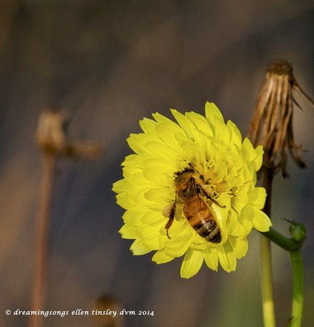 IMG_9944 honeybee pollen sacs 2014