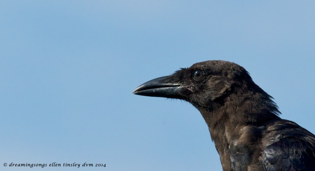 _RK_0259 questing young crow 2014