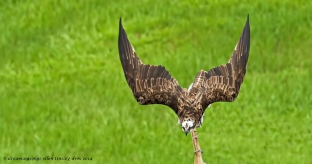 _RK_0868 osprey concentration 2014