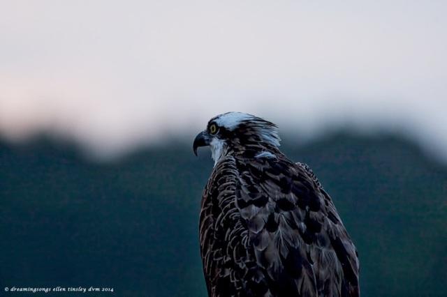 _RK_0988 osprey dawn 2014