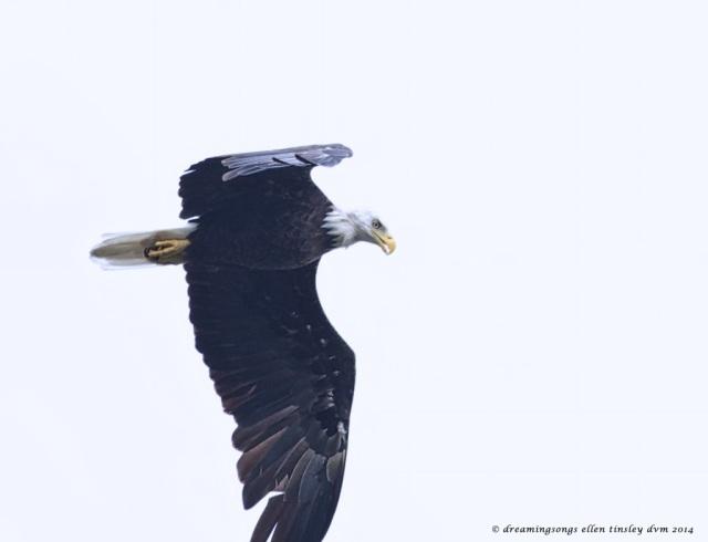 _RK_1841 morning eagle 2014