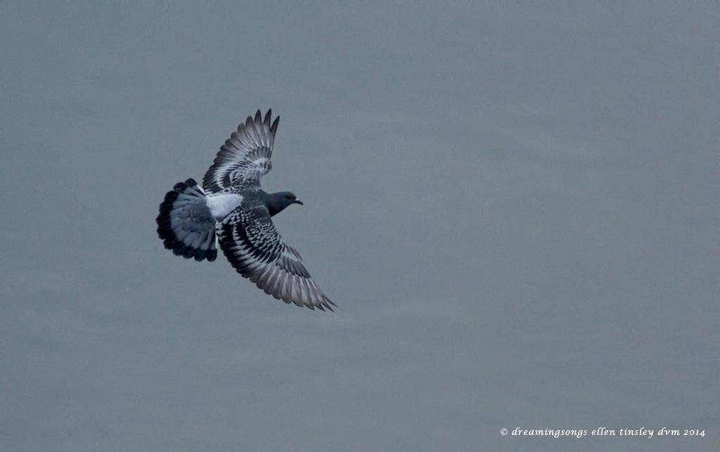 _RK_3753 rock pigeon flight 2014