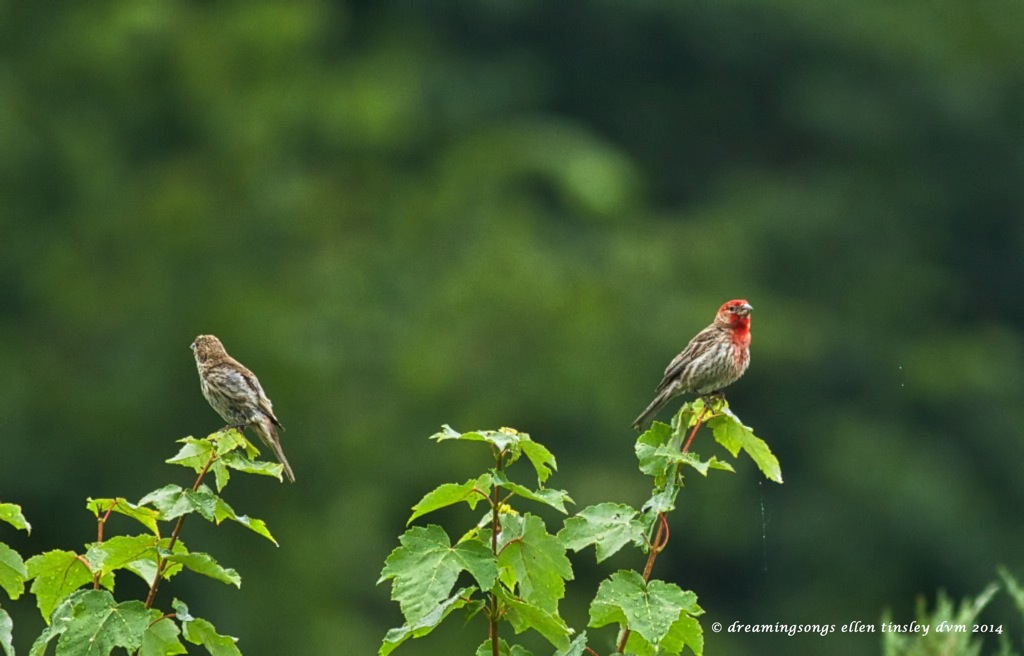 _RK_3896 house finch pair 2014