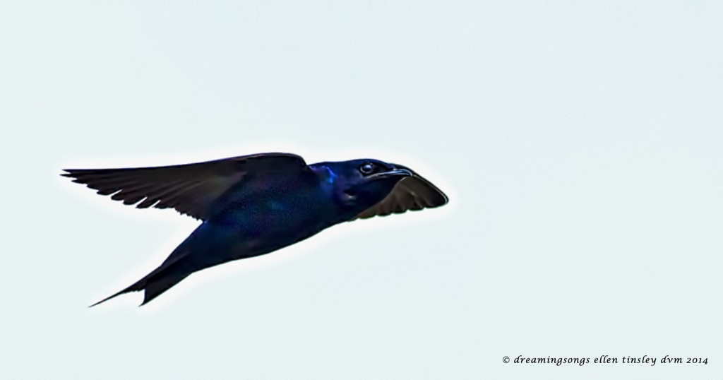 _RK_5943 purple martin subtle 2014 (1)