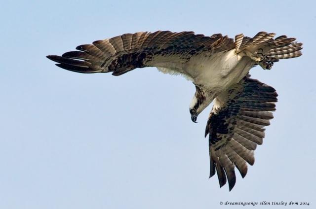 _RK_6219 osprey tip over to dive2014