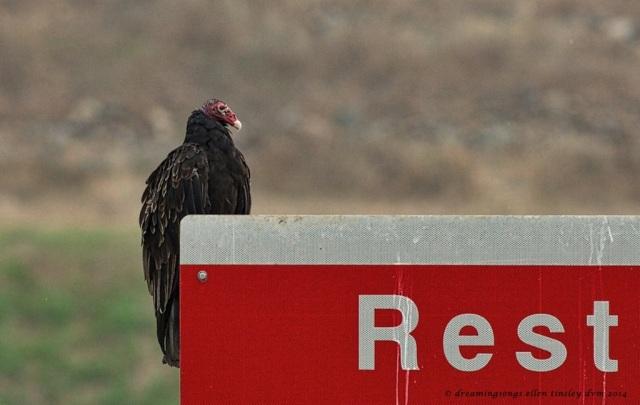 _RK_6817 vulture humor 2014