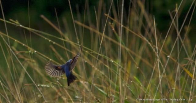 _RK_7120 blue grosbeak landing 2014 (1)