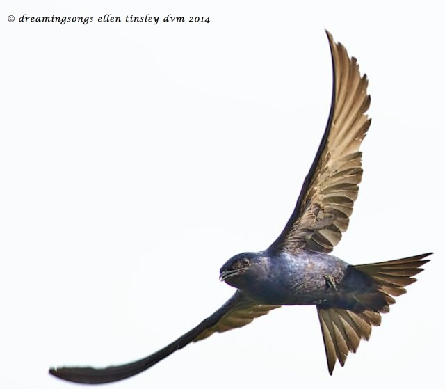 _RK_7964 purple martin full wings 2014