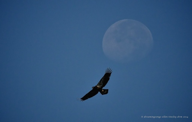 _RK_8287 eagle moon medium vignette 2014