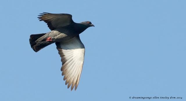 _RK_9250 rock pigeon flight 2014