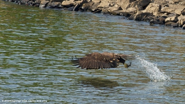 _RK_9468 eaglet catches small fish2014 (1)