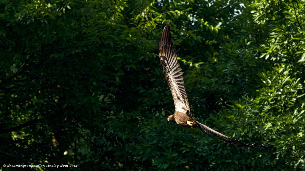 _RK_9558 eaglet bending away 2014 (1)
