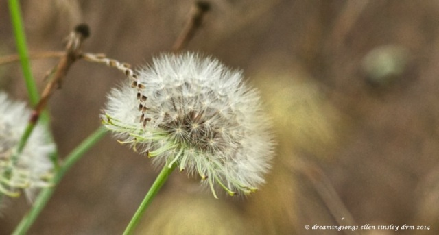 _RK_9720 dandelion abstract 2014