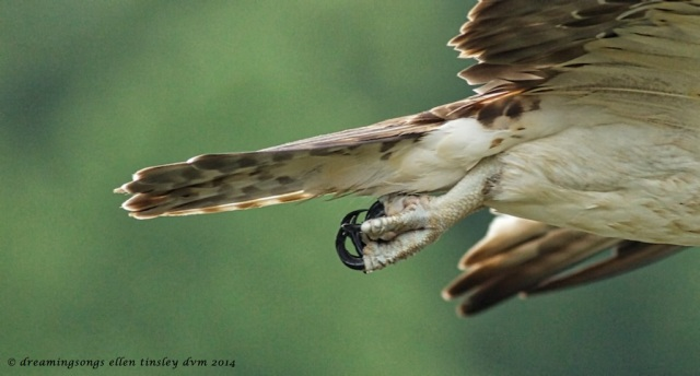 _RK_9968 osprey foot talon detail 2014