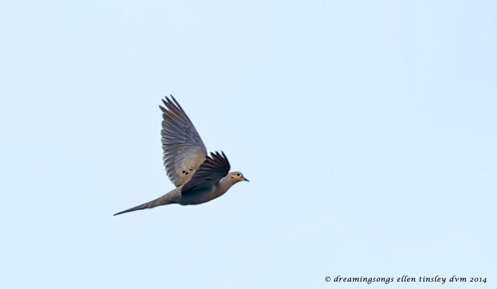 _RK_1782 - Version 2 morning dove flight B 2014