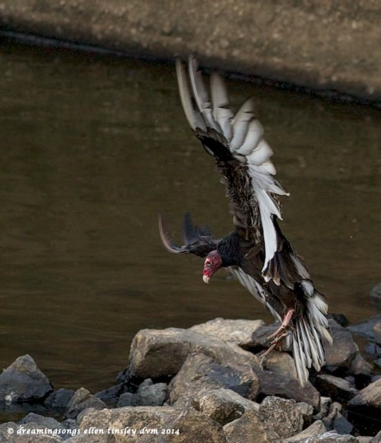 _RK_1875 turkey vulture full wing lands 2014 (1)