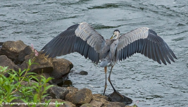 _RK_1962 gbh youngster dropped fish 2014