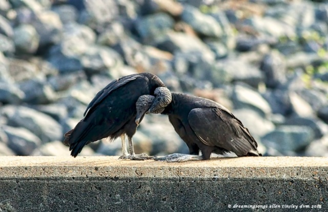 _RK_2260 vulture grooming 2014