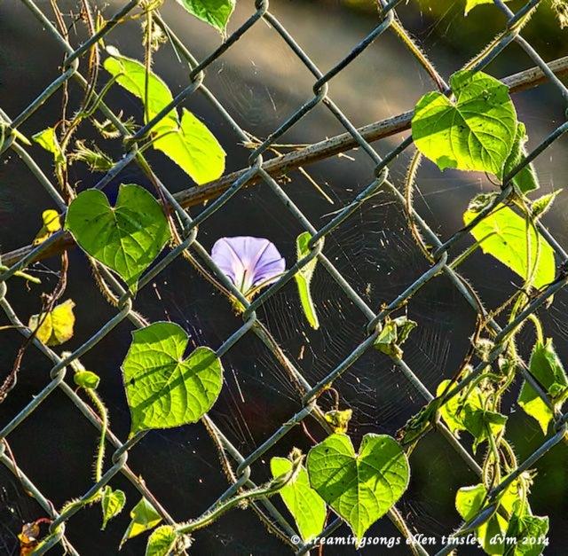 _RK_2336 morning glory fence 2014