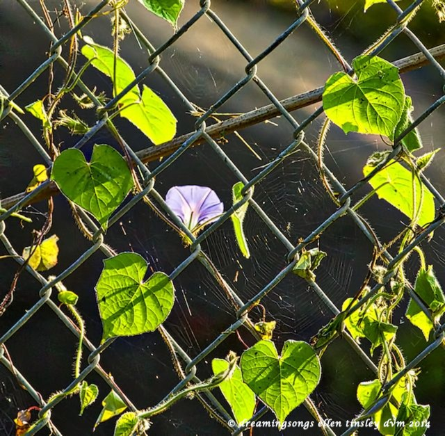_RK_2336 morning glory fence 2014