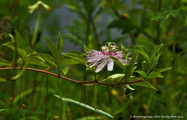 _RK_2649 passion flower Haw River 2014 (1)
